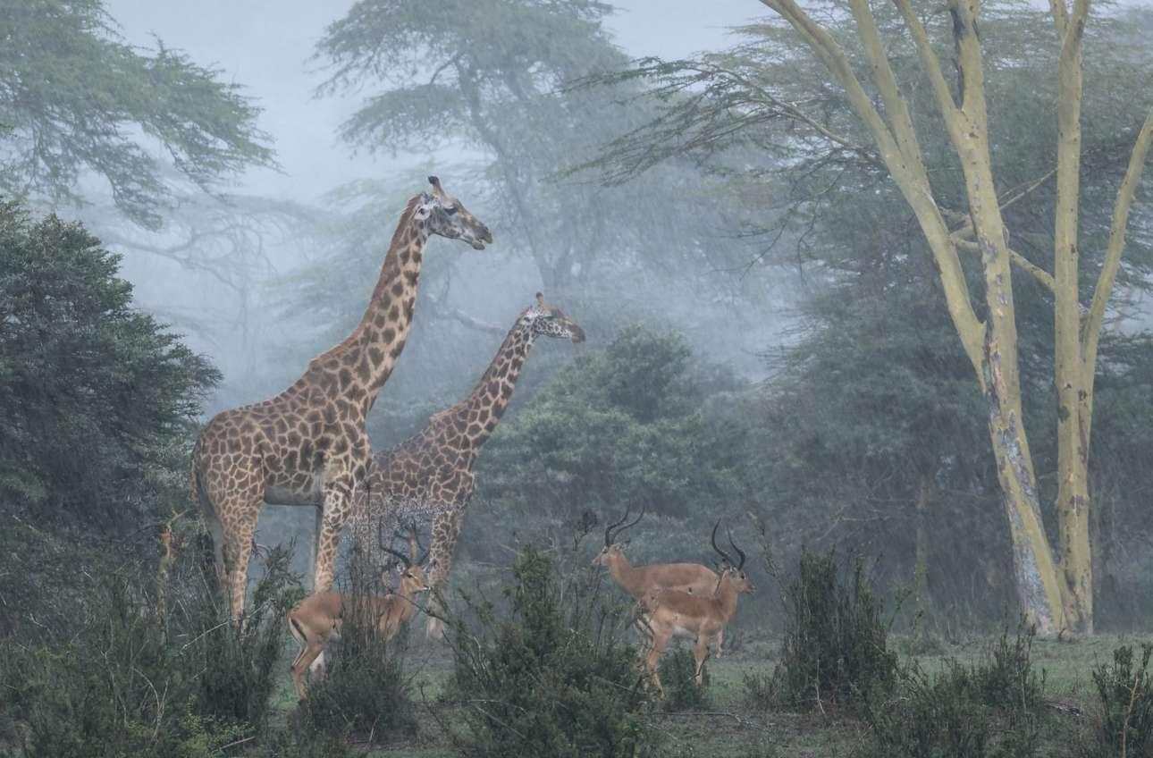 «Ματιά στην Αγρια Φύση». Δύο καμηλοπάρδαλεις και τρεις αφρικανικές αντιλόπες μέσα στη βροχή στο Εθνικό Πάρκο του Ναϊρόμπι, στην Κένυα, όπου φιλοξενούνται επίσης και λιοντάρια. Σύμφωνα με τον φωτογράφο είναι αμυντικός μηχανισμός για διαφορετικά είδη θηραμάτων να μένουν μαζί προκειμένου να προστατευτούν από ελλοχεύοντες θηρευτές