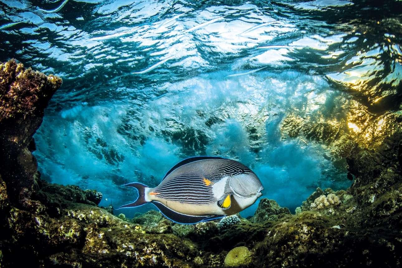 «Υποφωτισμένο». Τους καλοκαιρινούς μήνες, το ψάρι Sohal Surgeonfish τείνει να ζευγαρώνει και να γεννάει στην κορυφή των υφάλων της Ερυθράς Θάλασσας. Τα συγκεκριμένα ψάρια προστατεύουν με κάθε τρόπο τα αυγά τους και σπεύδουν να επιτεθούν σε οτιδήποτε εισβάλλει στην περιοχή. Συχνά χτυπούν με την ουρά τους, η οποία έχει μια οσφυϊκή προεξοχή κοφτερή όσο και το νυστέρι χειρουργού, τον εισβολέα. Για αυτό σιγουρευτείτε ότι δεν είστε πολύ κοντά, καθώς τα χέρια ενός φωτογράφου γίνονται πολύ εύκολα στόχος και συχνά κόβονται», μας ενημερώνει ο Σαϊντ Ρασίντ