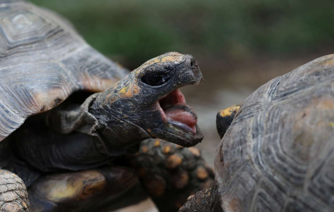 Παρασκευή, 2 Φεβρουαρίου, Περού. Ενθουσιασμένες χελώνες σε καταφύγιο της Εθνικής Υπηρεσίας για τα Δάση και την Άγρια Ζωή. Οι χελώνες κατασχέθηκαν από πολίτες που τις είχαν παράνομα στην κατοχή τους