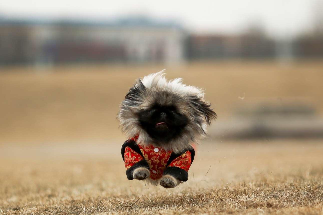 Δευτέρα, 19 Φεβρουαρίου, Κίνα. Ενθουσιασμένο πεκινουά τρέχει σε πάρκο του Πεκίνου