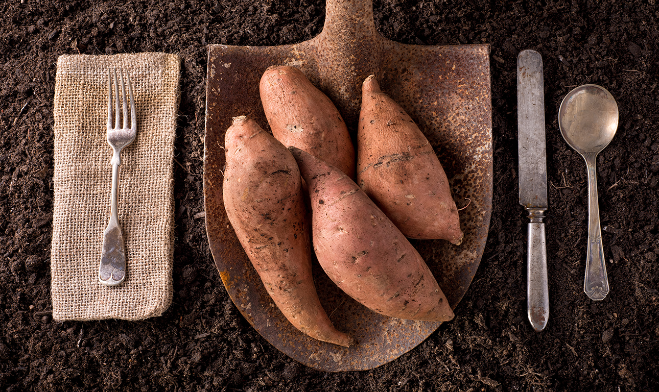 Sweet potato-organic farm-72_227041330 copy