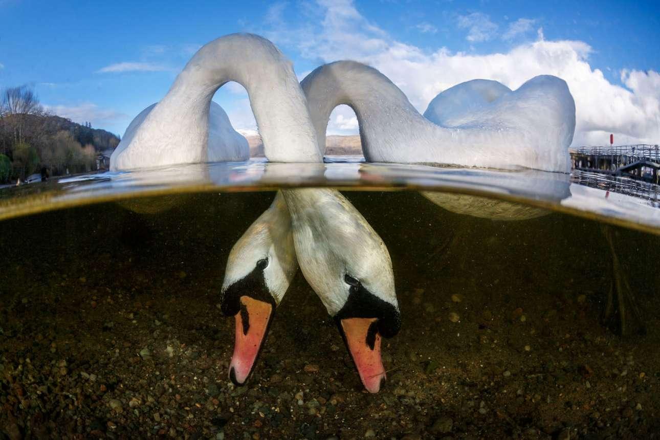 swans_1500