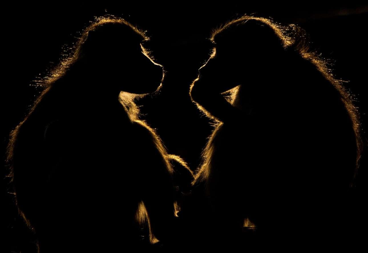 Φιναλίστ κατηγορία Φύση. Οι φωτισμένες σιλουέτες δύο μπαμπουίνων, στον ποταμό Chobe στη Μποτσουάνα