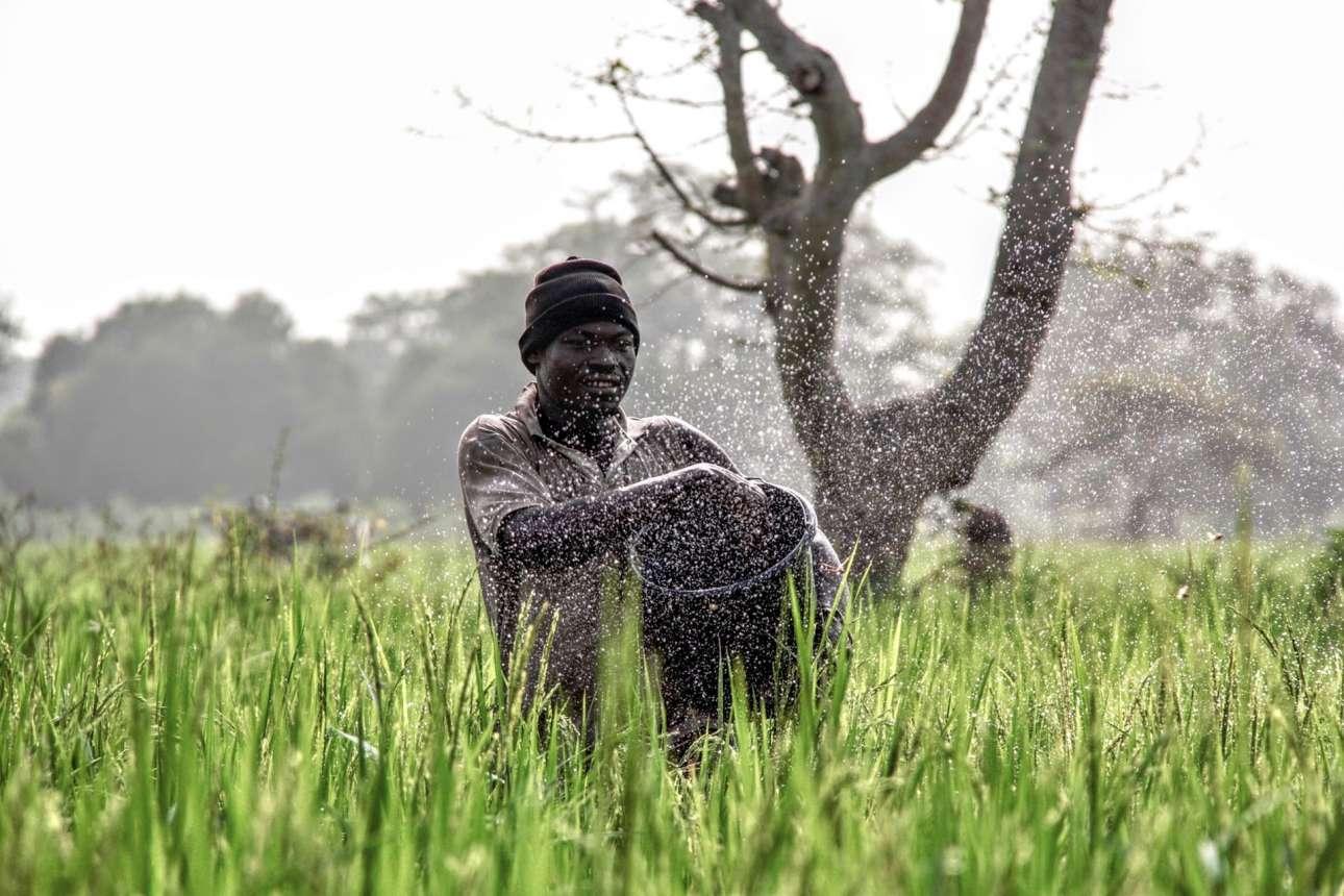 Φιναλίστ κατηγορία Δράση. Αγρότης ρίχνει λίπασμα σε καλλιέργειες ρυζιού, στη βόρεια Γκάνα