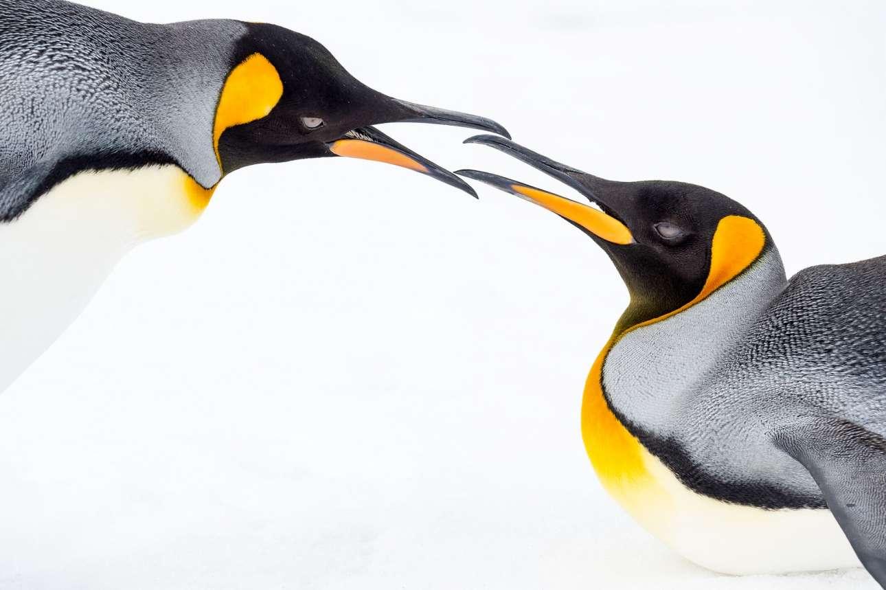 Μεγάλο Βραβείο. Ενα τρυφερό στιγμιότυπο ανάμεσα σε δύο πιγκουίνους στη Νότια Γεωργία, στον Ατλαντικό Ωκεανό