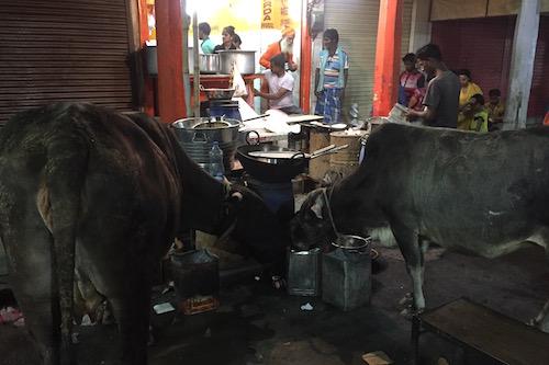 Στο μεγαλύτερο κομμάτι της Ινδίας οι άνθρωποι και τα ζώα ζουν μαζί. Και το μόνο που μπορείς να κάνεις σε μία αγελάδα είναι να της φωνάξεις, αν κλείνει τον δρόμο