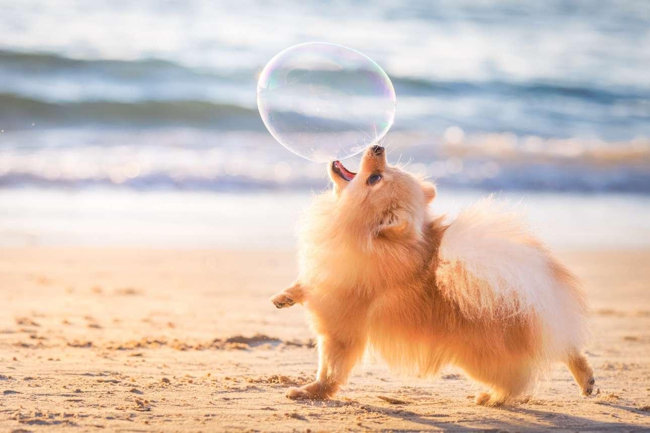Πρώτη θέση στην κατηγορία «Σκύλοι εν ώρα παιχνιδιού». Λίγο πριν δύσει ο ήλιος, η Λίλι παίζει ενθουσιασμένη με μία σαπουνόφουσκα, σε παραλία του Ισραήλ