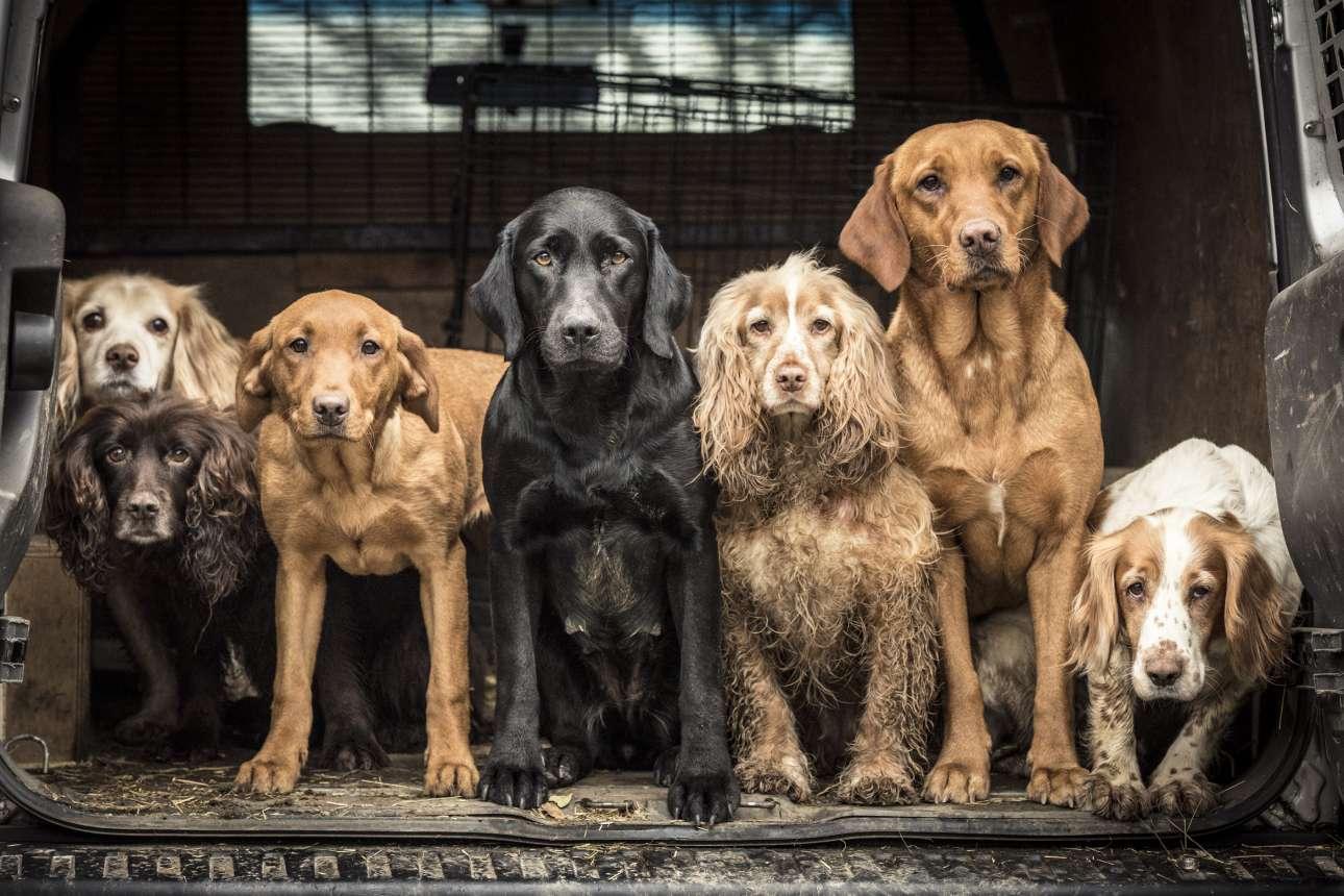 Πρώτη θέση στην κατηγορία «Σκύλοι εν ώρα εργασίας». Σκυλιά ράτσας σπάνιελ και ριτρίβερ επιστρέφουν σπίτι... ύστερα από μία ημέρα σκληρής δουλειάς