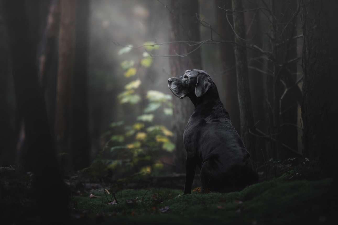 Μεγάλο βραβείο και πρώτη θέση στην κατηγορία «Γέρικα σκυλιά». Η Νόα στέκεται αγέρωχη μέσα σε ένα δάσος της Ολλανδίας. «Οταν γύρισε το κεφάλι προς τον ιδιοκτήτη της, ήταν η στιγμή που μπορούσες να δεις την ψυχή της» λέει η φωτογράφος Μόνικα Βαν Ντερ Μέιντεν