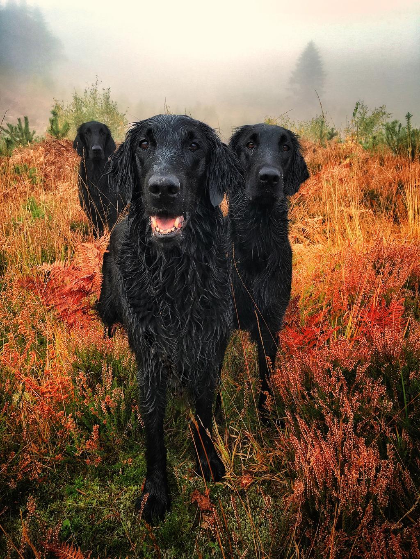 Πρώτη θέση στη κατηγορία «Πορτέτο σκύλου». Τελευταία μέρα του Οκτωβρίου, μέσα σε ένα χωράφι «ντυμένο» στα χρώματα του φθινοπώρου και με φόντο τον ομιχλώδη ουρανό, τρία ριτρίβερ ποζάρουν στον φακό της βρετανίδας φωτογράφου Κάρολ Ντουράντ