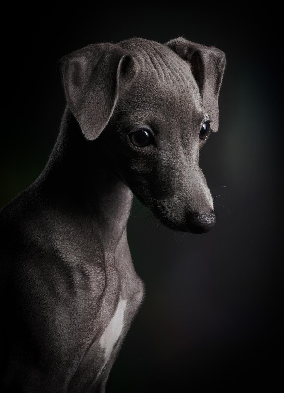 Πρώτη θέση στην κατηγορία «Κουτάβια». Σύμφωνα με τον φωτογράφο Κλάους Ντίμπα, το μόλις τριών μηνών ιταλικό greyhound έχει όλη τη ζωή μπροστά του και αυτό φαίνεται στην έκφρασή του
