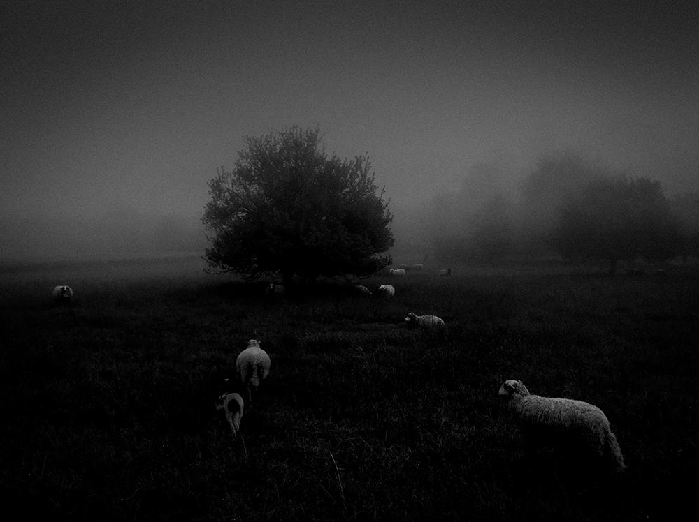 Πρώτη θέση στην κατηγορία Φύση. Πρόβατα στην πρωινή ομίχλη, στην Τουλούζ της Γαλλίας