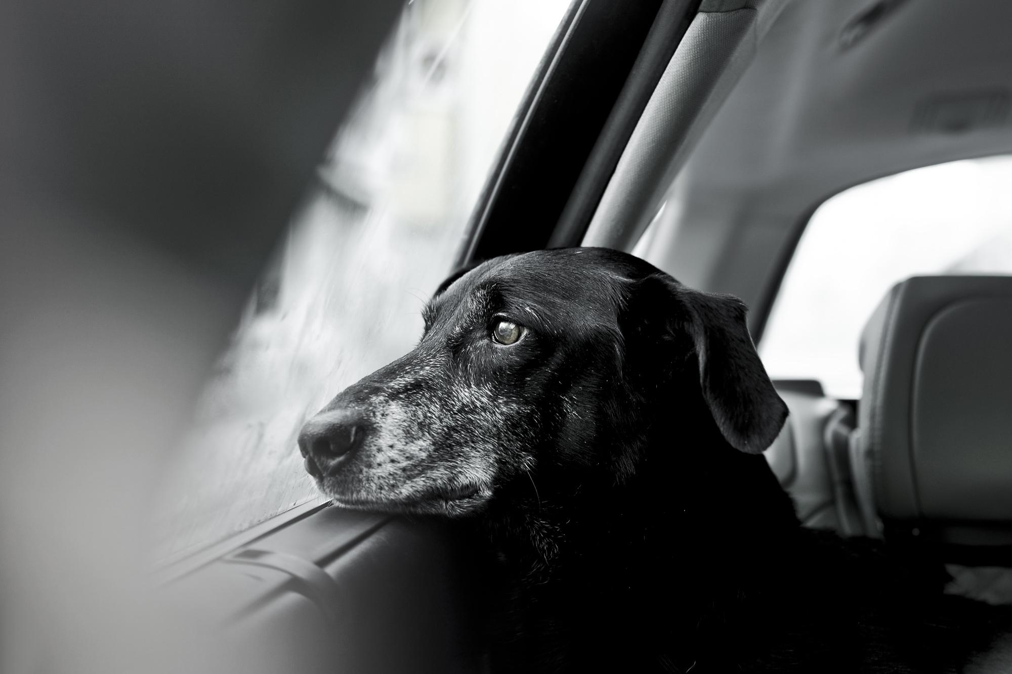 Δεύτερη θέση στην κατηγορία «Γέρικα σκυλιά». Ο σκύλος διάσωσης Νίλο κοιτάζει μελαγχολικά έξω από το παράθυρο μία βροχερή ημέρα