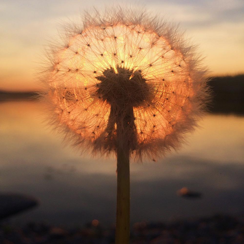 Πρώτη θέση στην κατηγορία Ηλιοβασίλεμα. Πικραλίδα με φόντο το δειλινό στη Φινλανδία, όπου οι καλοκαιρινές μέρες διαρκούν πολύ και τα ηλιοβασιλέματα είναι πανέμορφα σύμφωνα με τη φωτογράφο