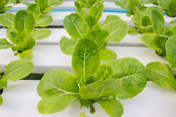 Τα μαρούλια και γενικότερα τα πράσινα λαχανικά αναπτύσσονται εξαιρετικά στις κάθετες φάρμες και στην νέα φάρμα του Ντουμπάι υπολογίζεται ότι θα παράγονται καθημερινά χιλιάδες τόνοι (Shutterstock)