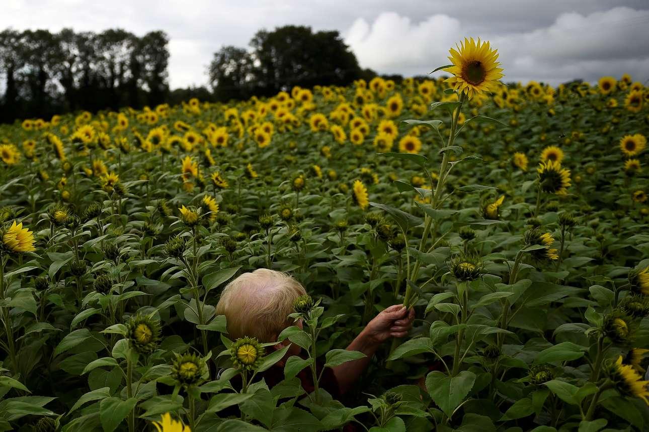 13 Αυγούστου. Γυναίκα σκεπάζεται από τα πανύψηλα ηλιοτρόπια καθώς προσπαθεί να τα κόψει, σε χωράφι στη Βόρεια Ιρλανδία