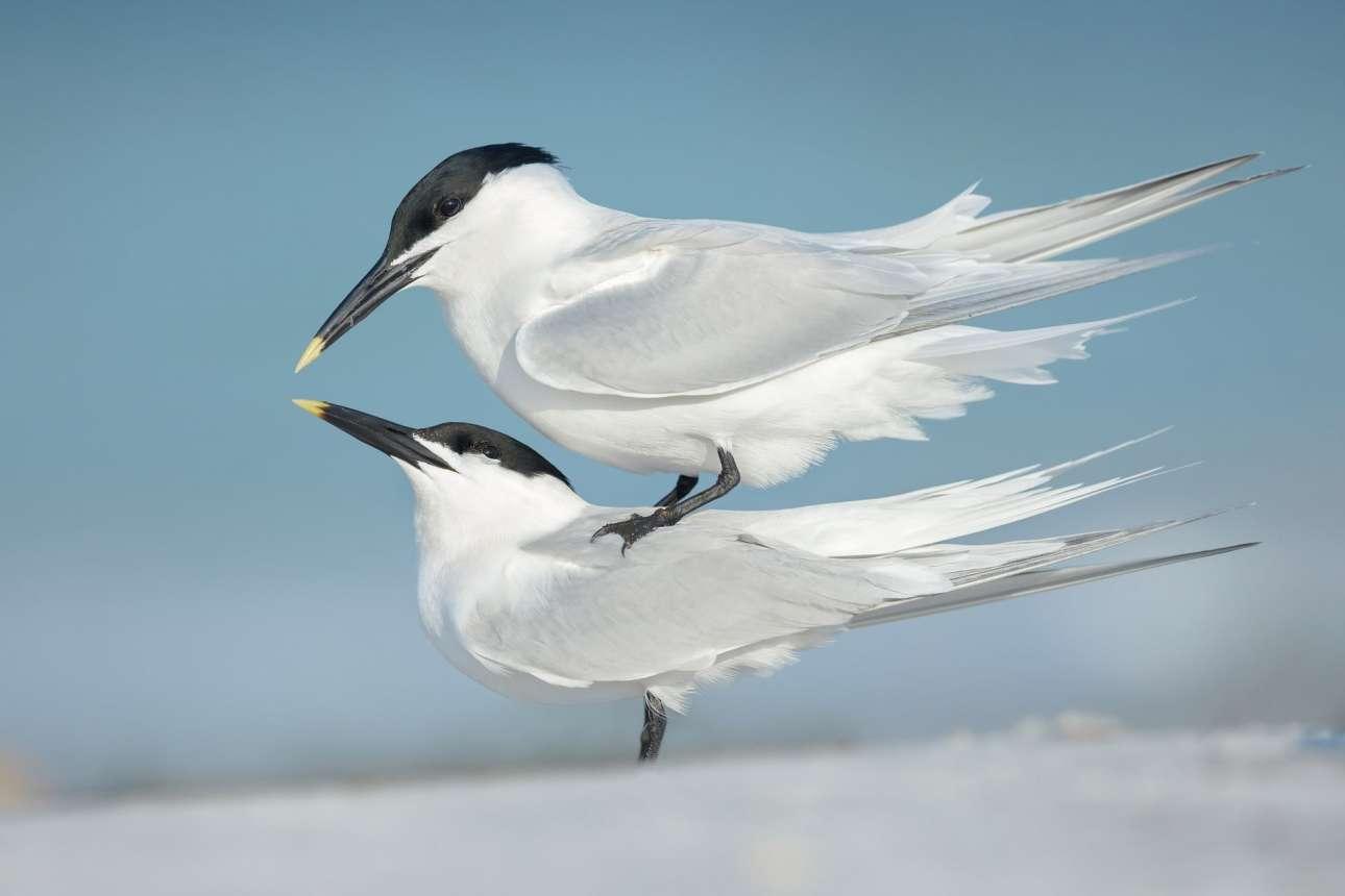 Δεύτερη θέση στην κατηγορία «Συμπεριφορά Πουλιών». Δύο γλαρόνια στην τελευταία φάση του φλερτ, λίγο πριν από το ζευγάρωμα
