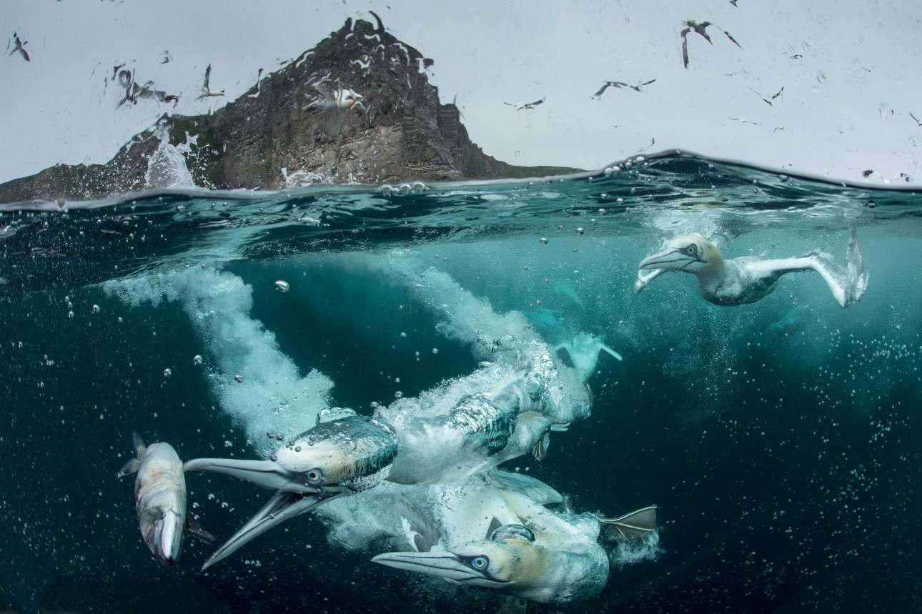 Βραβείο στην κατηγορία «Συμπεριφορά Πουλιών» και βραβείο Κοινού. θαλασσοπούλια κυνηγούν πελαγίσια ψάρια όπως σκουμπρί και ρέγκα στα νερά της Σκωτίας, βουτώντας στη θάλασσα από ύψος μέχρι 30 μέτρων έχοντας αναπτύξει μεγάλη ταχύτητα