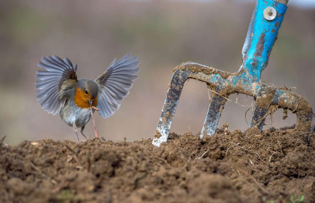 Βραβείο στην κατηγορία «Πουλιά Κήπου και Πόλης». Ο έλληνας φωτογράφος μόλις είχε οργώσει το χωράφι του στο Εκκλησοχώρι για να καλλιεργήσει πατάτες, δημιουργώντας έτσι το καταλληλότερο σκηνικό για να φωτογραφίσει έναν κοκκινολαίμη που έψαχνε για εύκολη λεία