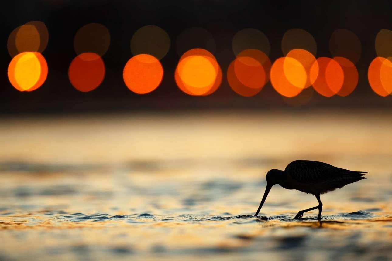 Δεύτερη θέση στην κατηγορία «Πουλιά Κήπου και Πόλης». Λιμόζα ψάχνει για φαγητό την ώρα που δύει ο ήλιος, στην ισπανική πόλη Χιχόν