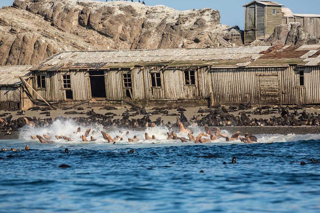 Κουρίλες νήσοι: στο έρημο πια νησί Τουλένι, με τα παρατημένα παραπήγματα, οι φώκιες αντικατέστησαν τους ανθρώπους