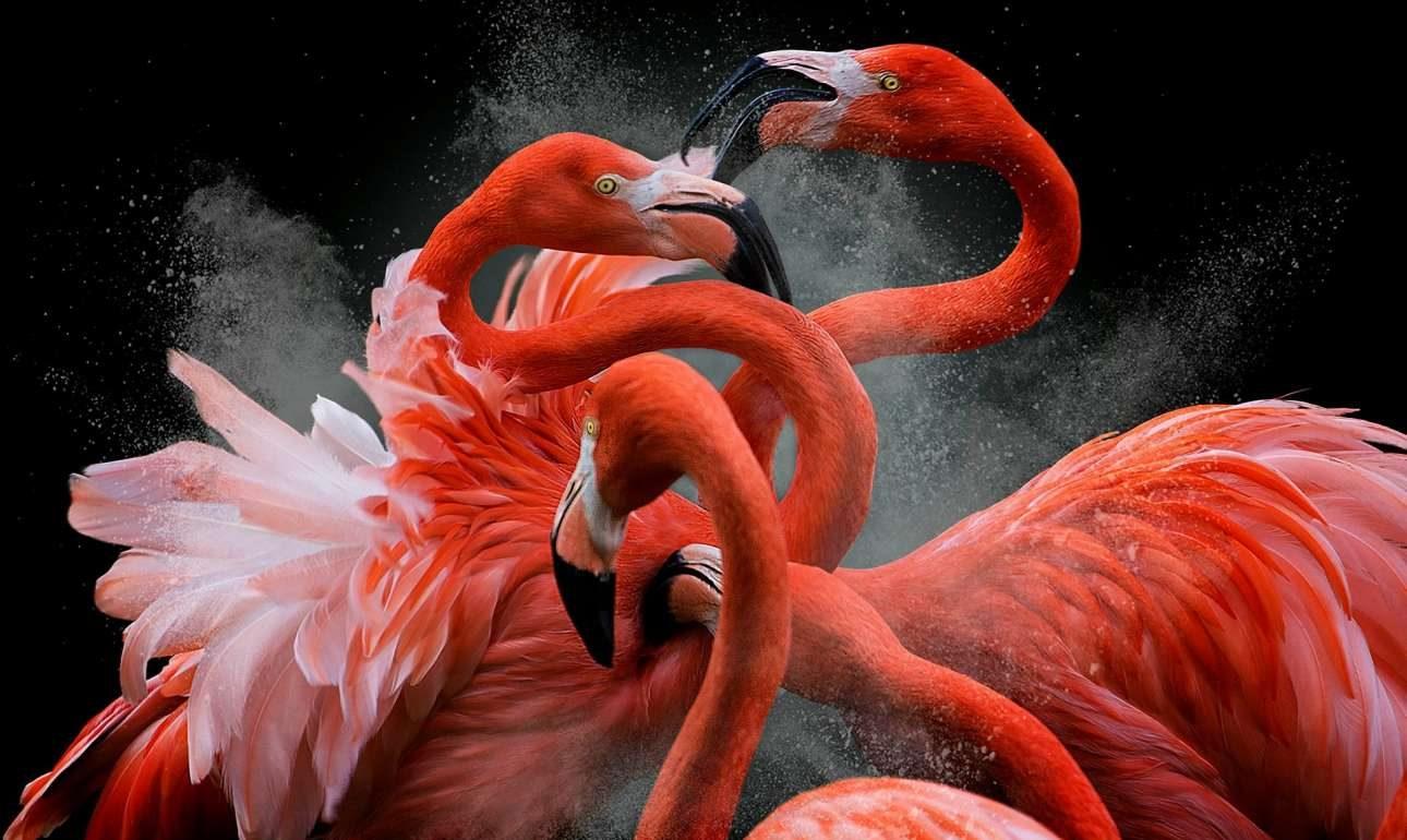 «Φωτογράφος Πουλιών της Χρονιάς». Ροζ φλαμίνγκο μαλώνουν σε καταφύγιο ζώων στη Μαδρίτη. Ο φωτογράφος έδωσε το όνομα «Black Friday» στη βραβευμένη εικόνα του γιατί η σκηνή του θύμισε τα απίθανα περιστατικά που συμβαίνουν στα μαγαζιά την περίφημη «Μαύρη Παρασκευή»