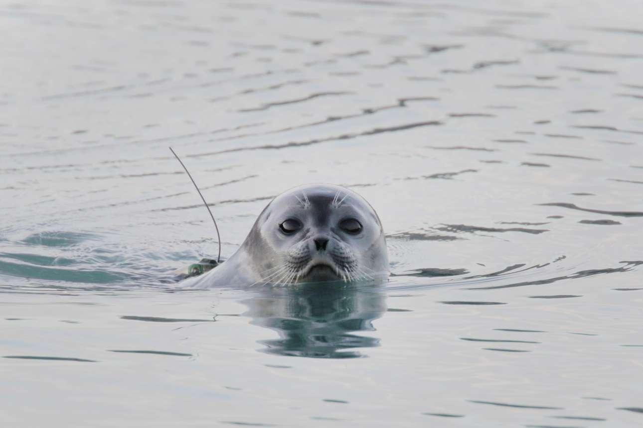 Φώκια με ειδικό εξοπλισμό για τη συλλογή στοιχείων δεμένο στην πλάτη της κολυμπάει στα νερά του φιορδ Ilulissat, στη νοτιοδυτική Γροιλανδία