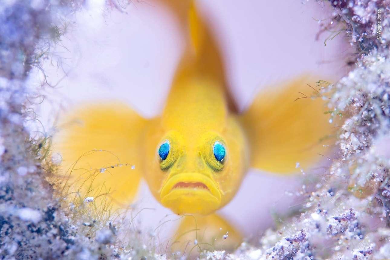 Κατηγορία «Υποβρύχια». Ενα ψάρι pygmy goby φρουρεί το σπίτι του _ ένα πεταμένο γυάλινο μπουκάλι - κοντά στην ακτή Μαμπίνι στις Φιλιππίνες