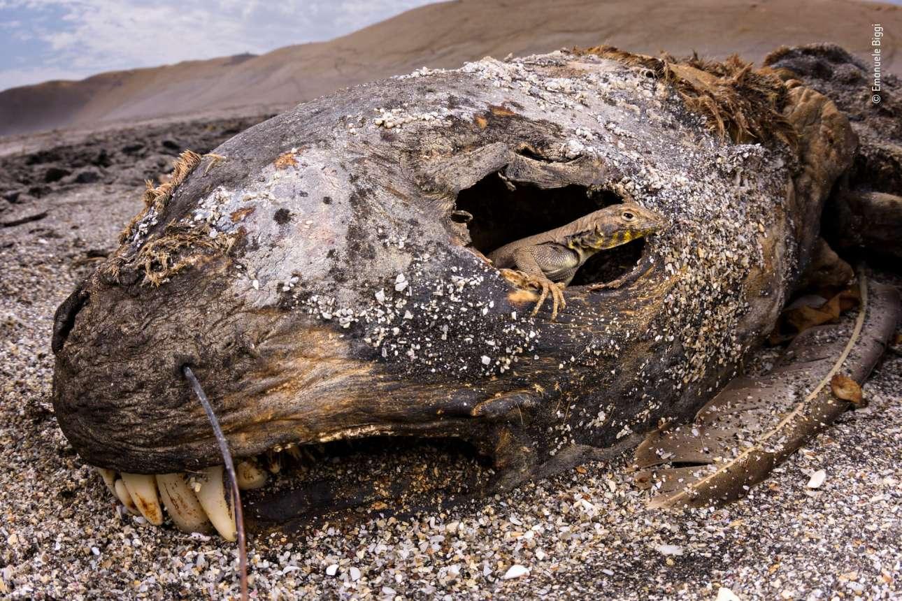 Κατηγορία «Ζώα στο Περιβάλλον τους». Το κουφάρι ενός θαλάσσιου ελέφαντα προσφέρει ένα πλουσιοπάροχο γεύμα στο ιγκουάνα, στο Εθνικό Καταφύγιο Παράκας του Περού