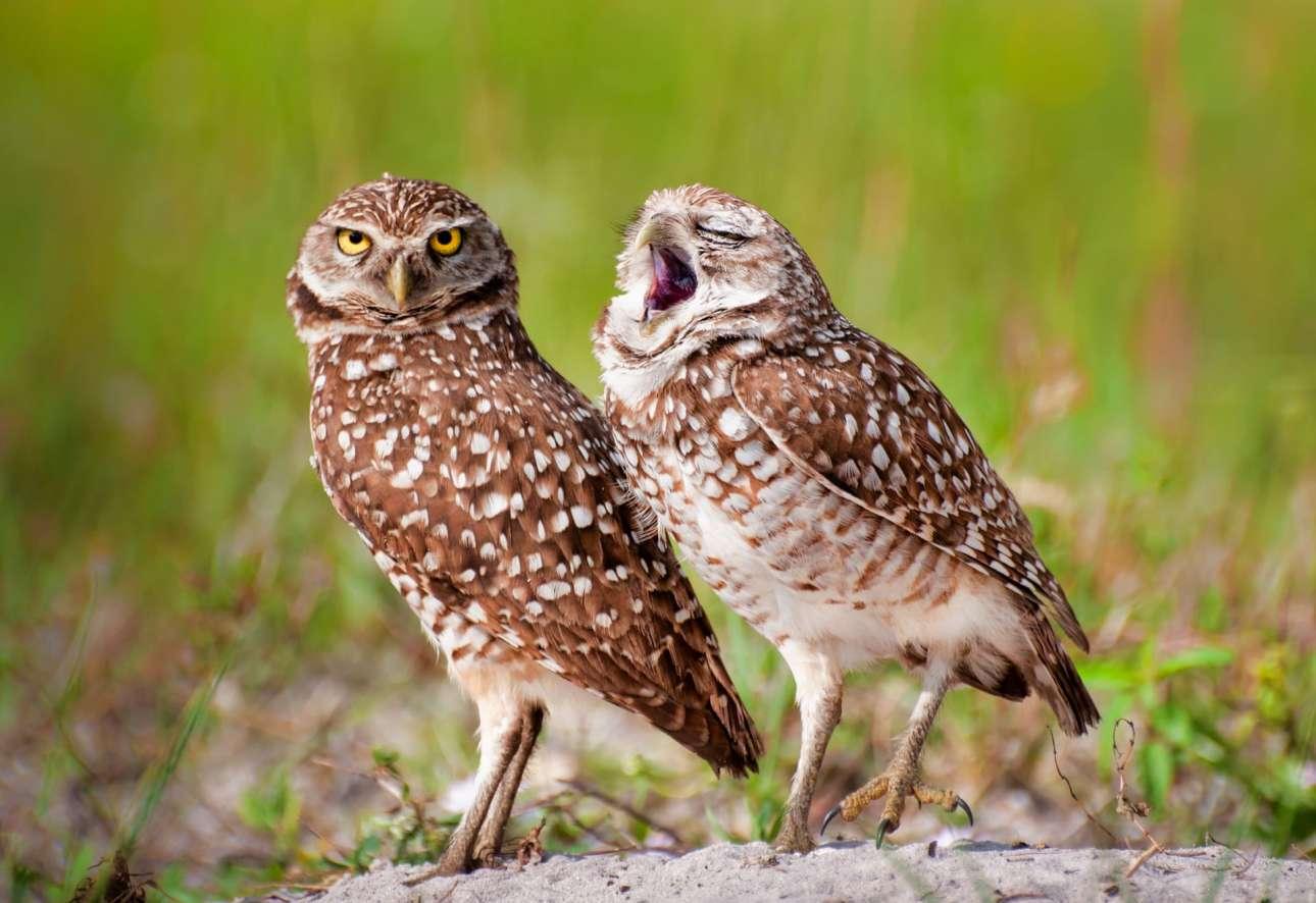 «Αμα σε κάνω να βαριέσαι, πες το μου»... Μία κουκουβάγια χασμουριέται απροκάλυπτα δίπλα στη φίλη της