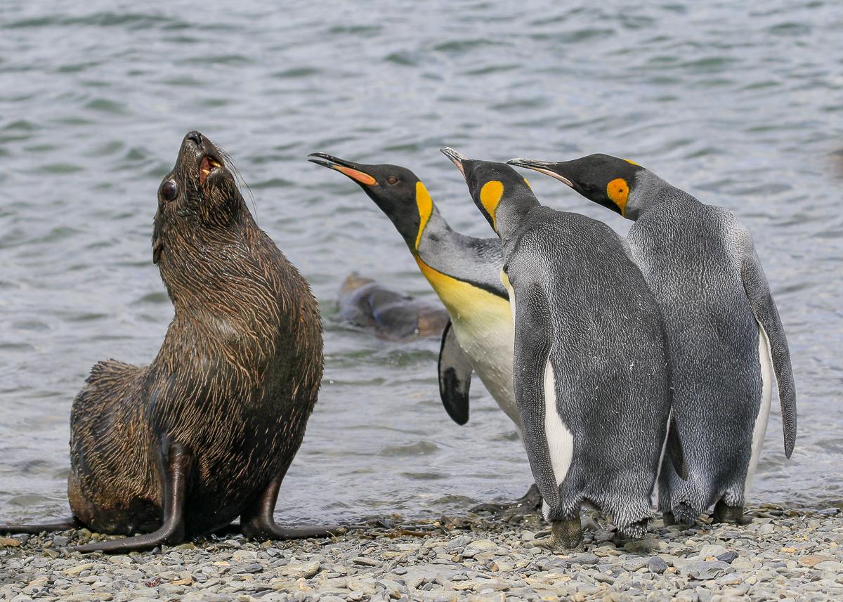 Πιγκουίνοι κάνουν bullying σε μία φώκια στη Νότια Γεωργία
