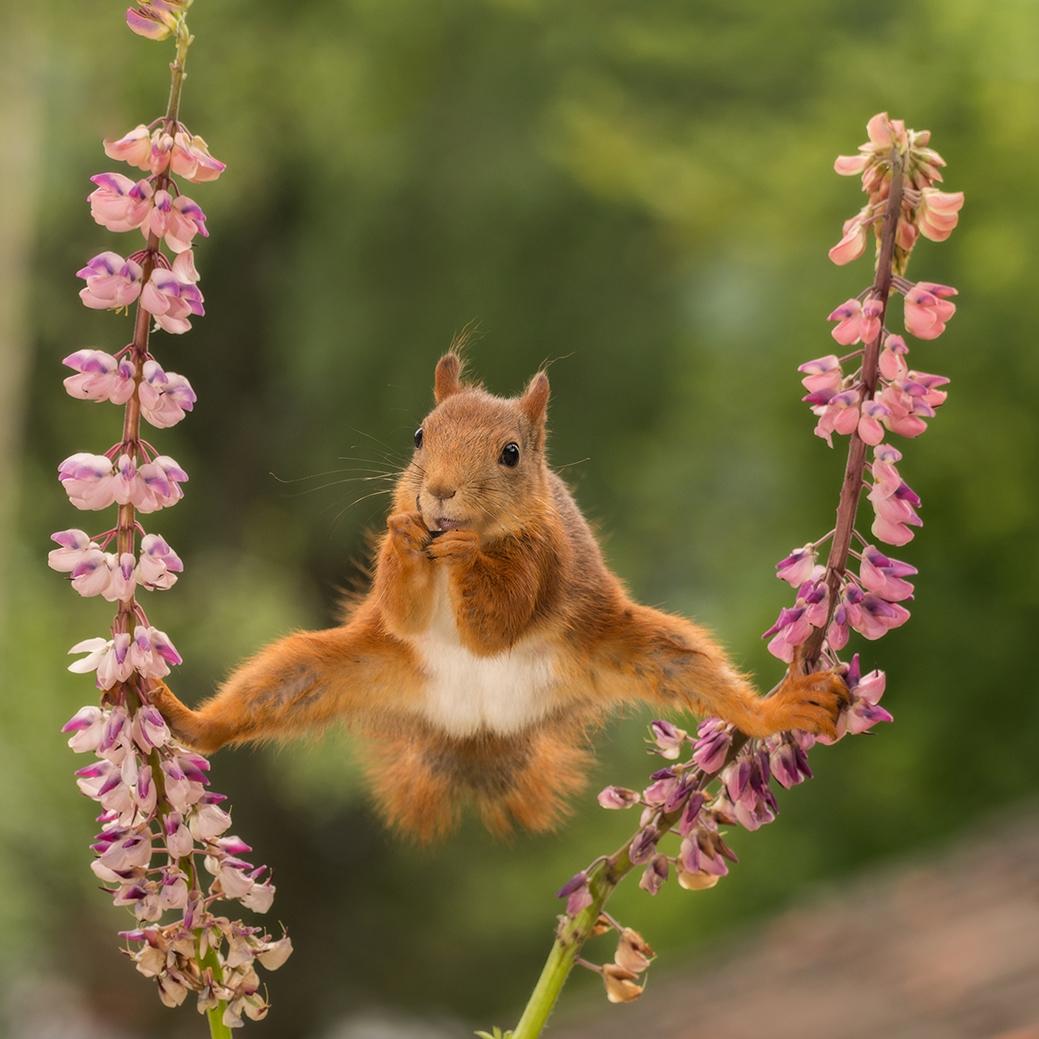 Κόκκινος σκίουρος κάνει ακροβατικά α λα Βαν Νταμ στη Σουηδία