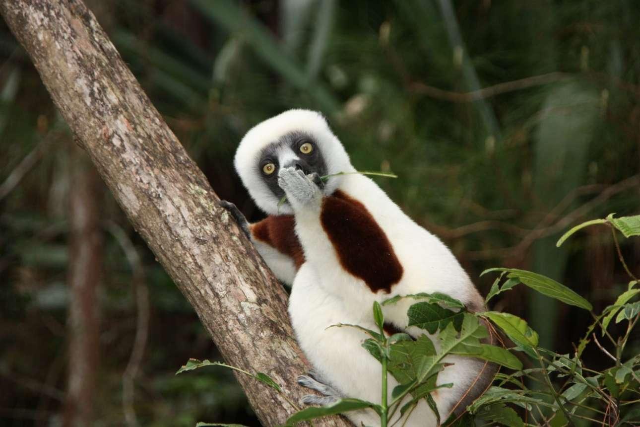 Λεμούριος στη Μαγαδασκάρη κοιτάζει σοκαρισμένος σαν να μην πιστεύει αυτά που ακούει
