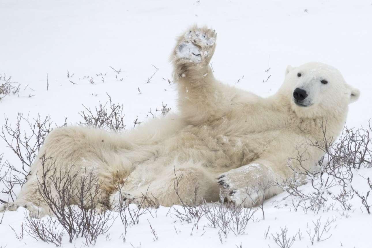Πολική αρκούδα κουνάει την πατούσα της σε φιλικό χαιρετισμό