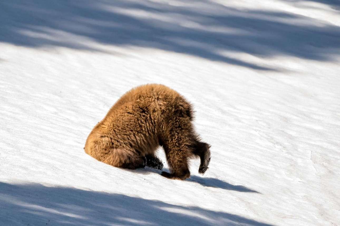 Καφέ αρκούδα μεταμορφώνεται σε στρουθοκάμηλο στο Εθνικό Πάρκο Γέλοουστοουν των ΗΠΑ