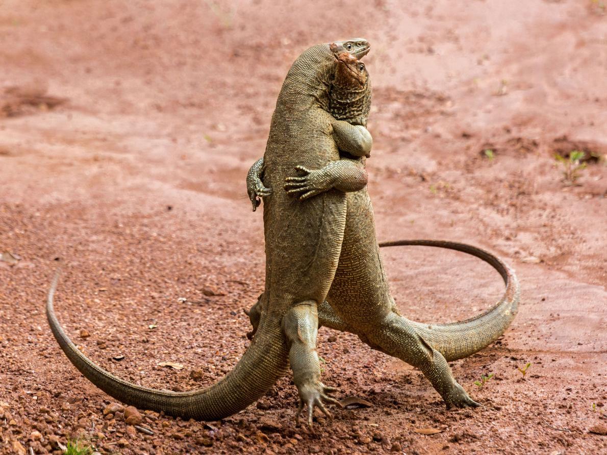 Δράκοι του Κομόντο χορεύουν ένα παθιασμένο τάνγκο