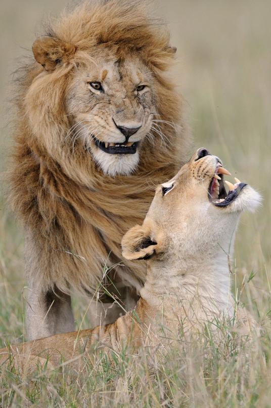 Ενα αγαπημένο ζευγάρι λιονταριών δείχνει να διασκεδάζει στο Εθνικό Καταφύγιο Μασάι Μάρα στην Κένυα