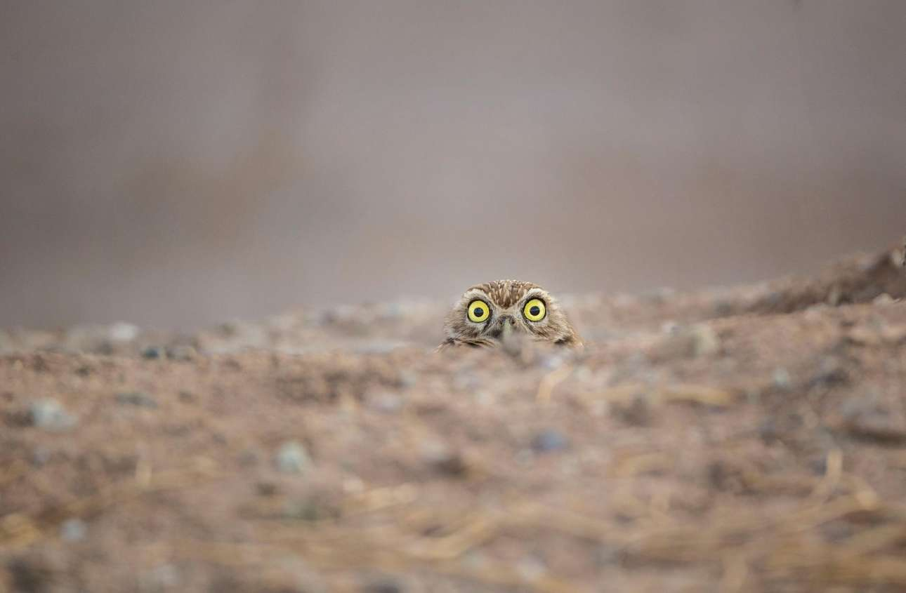 Μία κουκουβάγια ξεπροβάλλει από το έδαφος κοιτάζοντας με περιέργεια