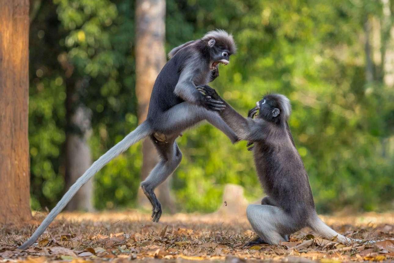 «This is Sparta!»: δύο γίββωνες σε σκληρή μάχη, στο Εθνικό Πάρκο Καένγκ Κρατσάν της Ταϊλάνδης