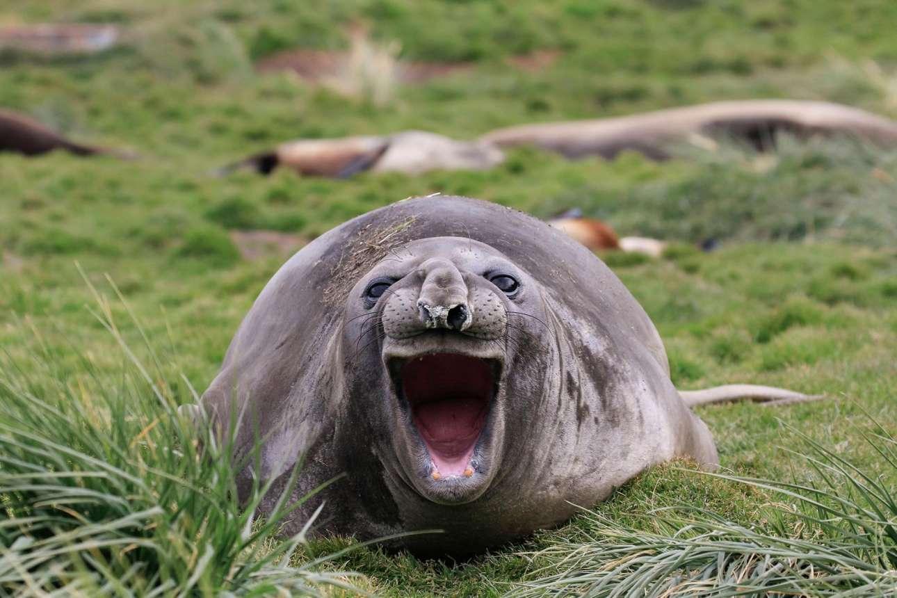 Μία φώκια γελάει επικριτικά στα μούτρα μας