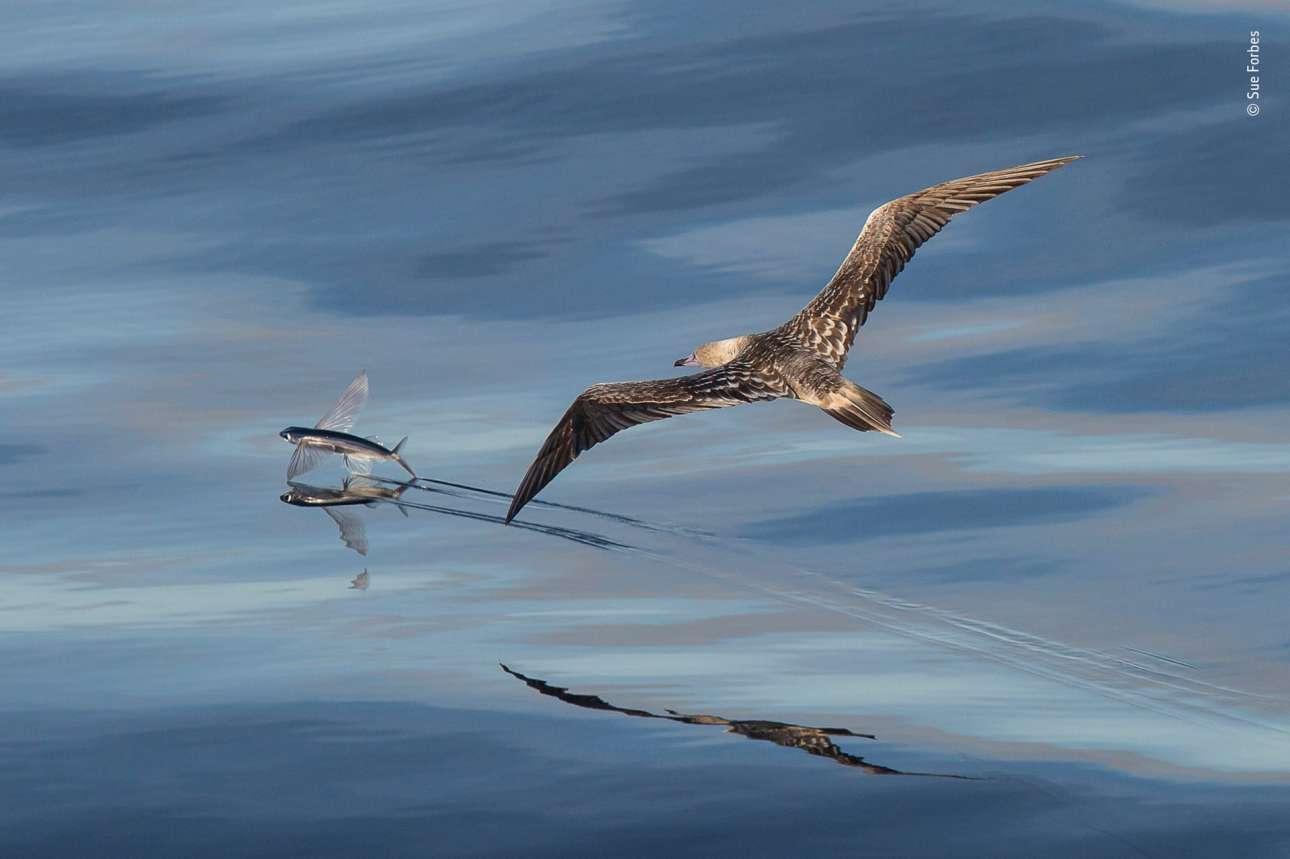 Κατηγορία «Συμπεριφορά: Πουλιά». θαλασσοπούλι με άνοιγμα φτερών που φτάνει το ένα μέτρο και οξεία όραση, ετοιμάζεται να επιτεθεί εν πτήσει σε ψάρι που αναπηδά στην επιφάνεια του νερού, στις Σεϋχέλλες