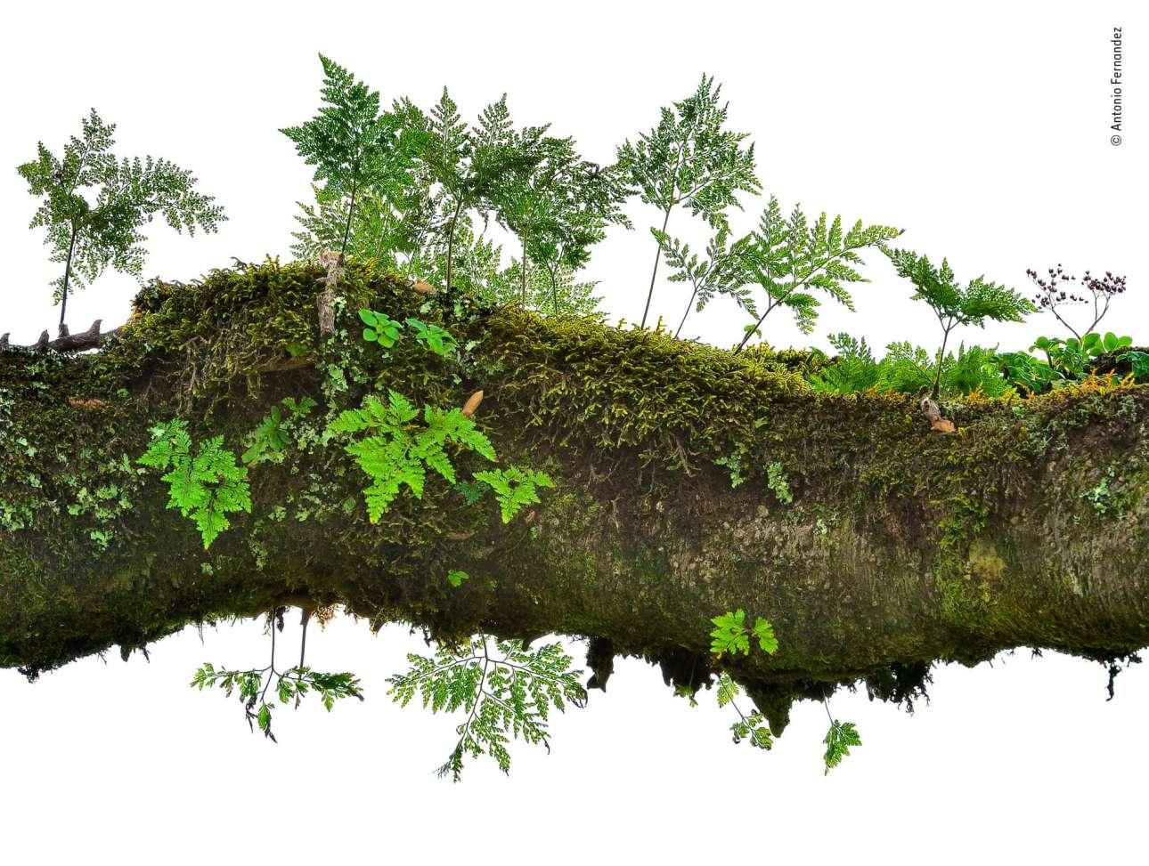 Κατηγορία «Φυτά και Μύκητες». Μέσα στην ομίχλη της Μαδέρα, ένα μικροσκοπικό «δάσος» φυτρώνει πάνω στο κλαδί ενός δέντρου