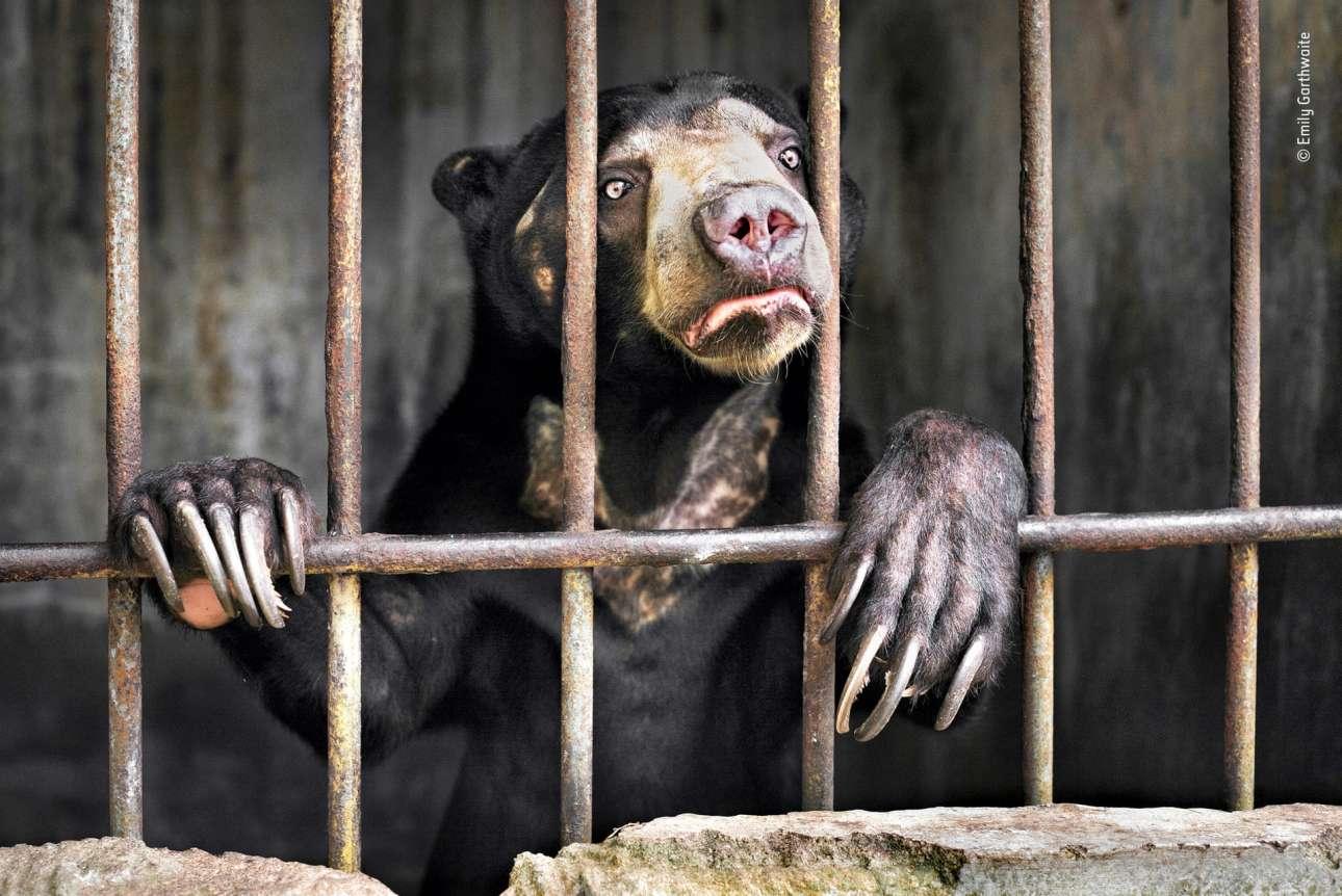 Κατηγορία «Φωτορεπορτάζ Αγριας Ζωής». Μία αρκούδα του ήλιου, το μικρότερο είδος αρκούδας στον πλανήτη που απειλείται με εξαφάνιση -από την αχαλίνωτη αποδάσωση, αλλά και από τη ζήτηση για τα όργανα τους που χρησιμοποιούνται στην παραδοσιακή κινεζική ιατρική- φυλάσσεται πίσω από τα κάγκελα σε άθλιες συνθήκες στο ζωολογικό κήπο της Σουμάτρα στην Ινδονησία