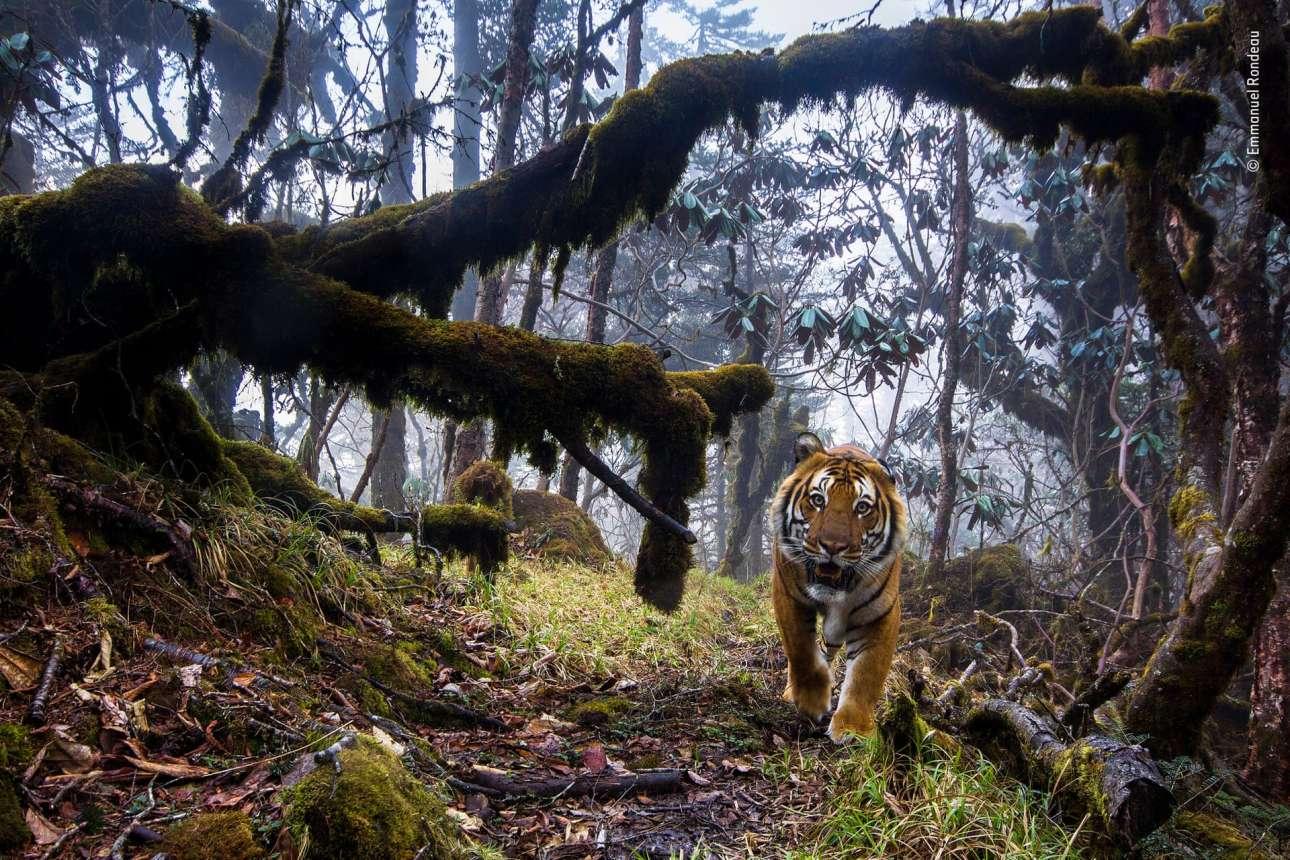 Κατηγορία «Ζώα στο Περιβάλλον τους». Σε ένα απομακρυσμένο δάσος, ψηλά στα Ιμαλάια, στο Μπουτάν, μία τίγρη της Βεγγάλης κοιτάζει κατάματα τον φωτογραφικό φακό