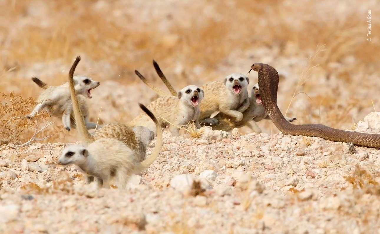 Κατηγορία «Συμπεριφορά: Θηλαστικά». Κόμπρα πηγαίνει να επιτεθεί σε μία παρέα σουρικάτων, όμως εκείνα προβάλλουν σθεναρή αντίσταση και την αναγκάζουν μετά από δέκα λεπτά να τραπεί σε φυγή, στη Ναμίμπια