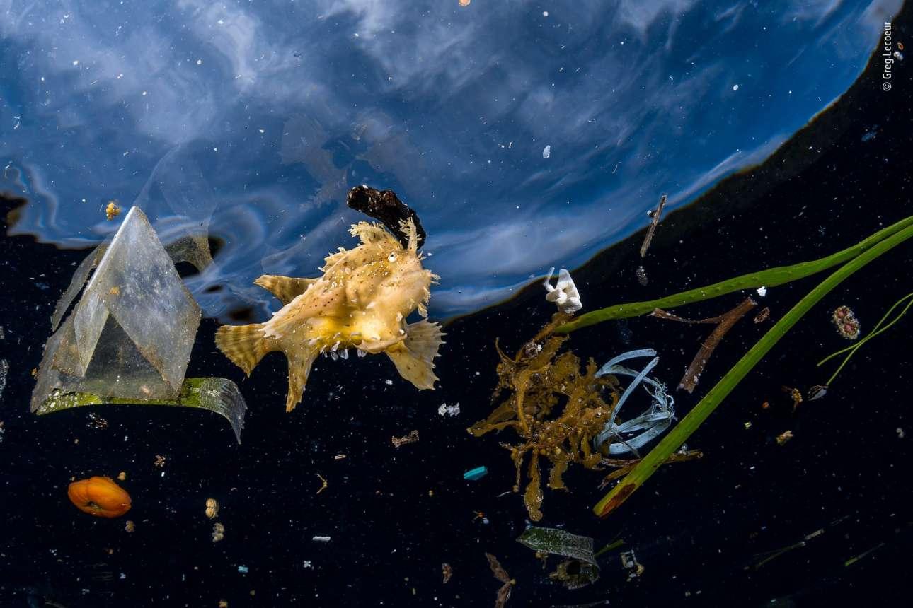 Κατηγορία «Φωτορεπορτάζ Αγριας Ζωής». Τα σκουπίδια που πλέουν στο ινδονησιακό αρχιπέλαγος Ράτζα Αμπάτ εμποδίζουν το ψάρι της φωτογραφίας να καμουφλαριστεί και να αναζητήσει τη λεία του