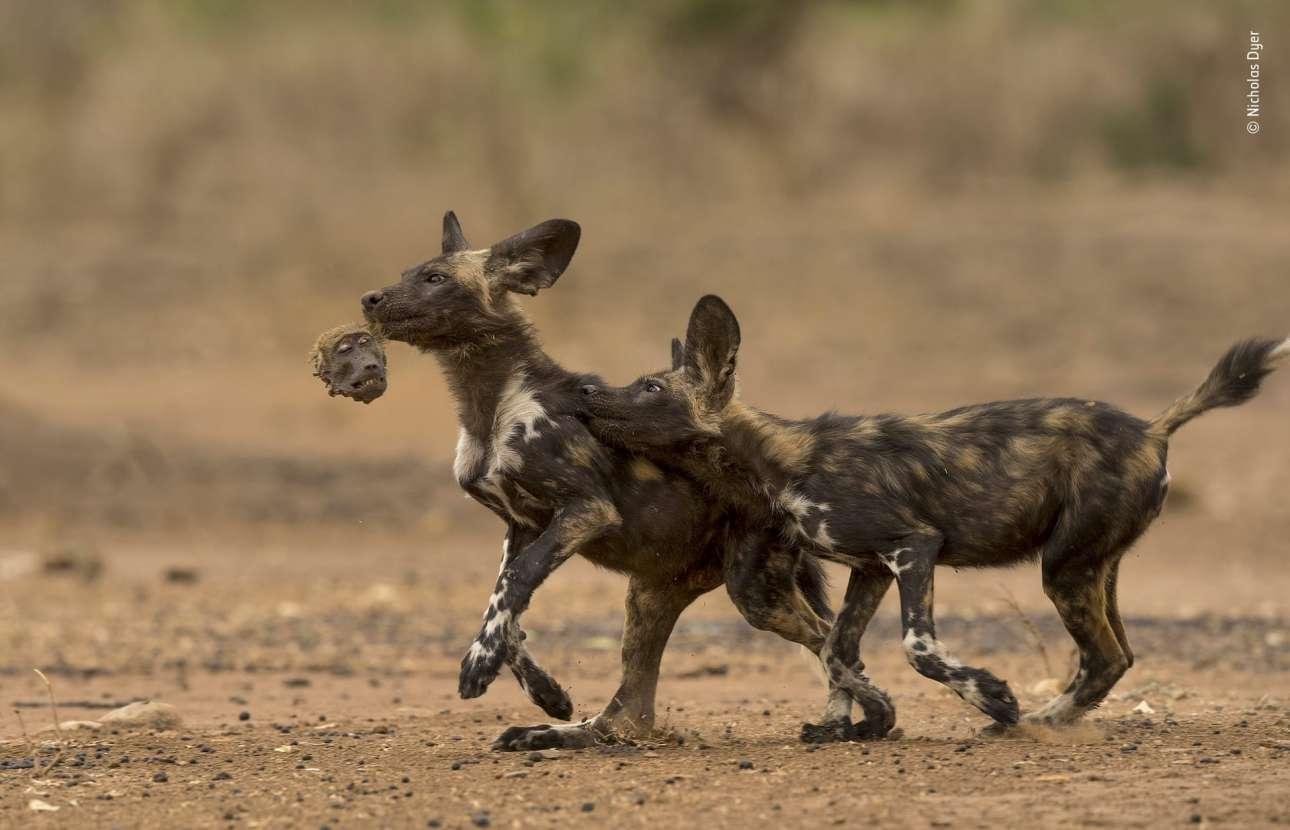 Κατηγορία «Συμπεριφορά: Θηλαστικά». Μια μακάβρια εικόνα από το Εθνικό Πάρκο της Ζιμπάμπουε:  δύο αφρικανικά άγρια σκυλιά παίζουν με το κεφάλι ενός μπαμπουίνου, αφού πρώτα τον έχουν κατασπαράξει. Ενα ασυνήθιστο περιστατικό -που όμως έχει σημειωθεί τρεις φορές στο συγκεκριμένο πάρκο- καθώς τα αφρικανικά σκυλιά κυνηγούν κυρίως αντιλόπες και οι μπαμπουίνοι ξέρουν να αμύνονται τραυματίζοντας σοβαρά τους θηρευτές τους