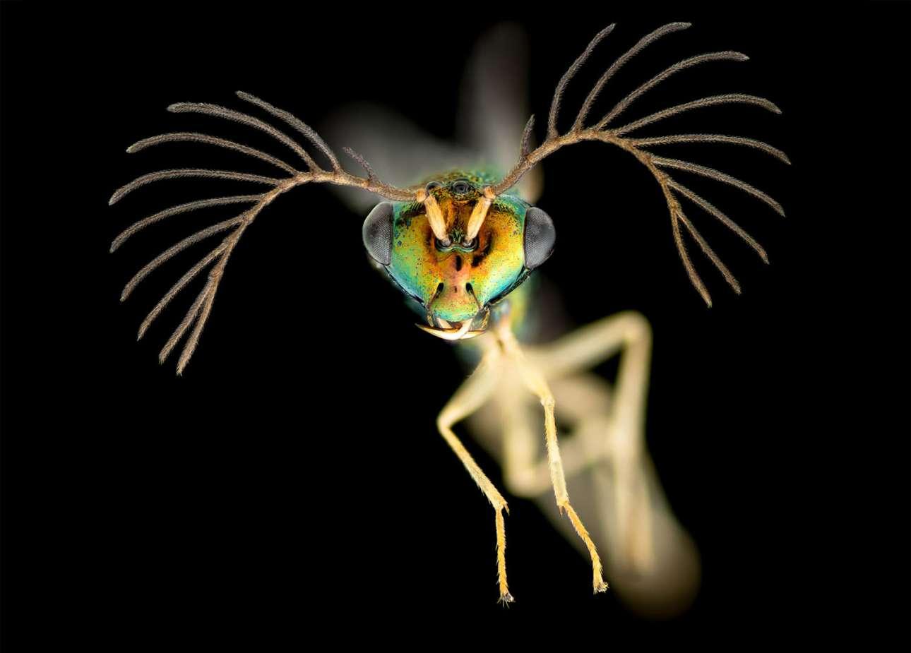 Τιμητική διάκριση: Αρσενική σφήκα από τα Φίτζι, μεγεθυσμένη τέσσερις φορές