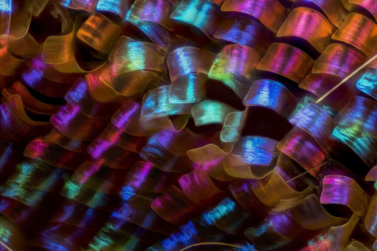 Τα λέπια από τα φτερά μίας πεταλούδας, τα οποία μεγεθυσμένα 20 φορές μοιάζουν σαν πολύχρωμες κορδέλες, στη δωδέκατη θέση