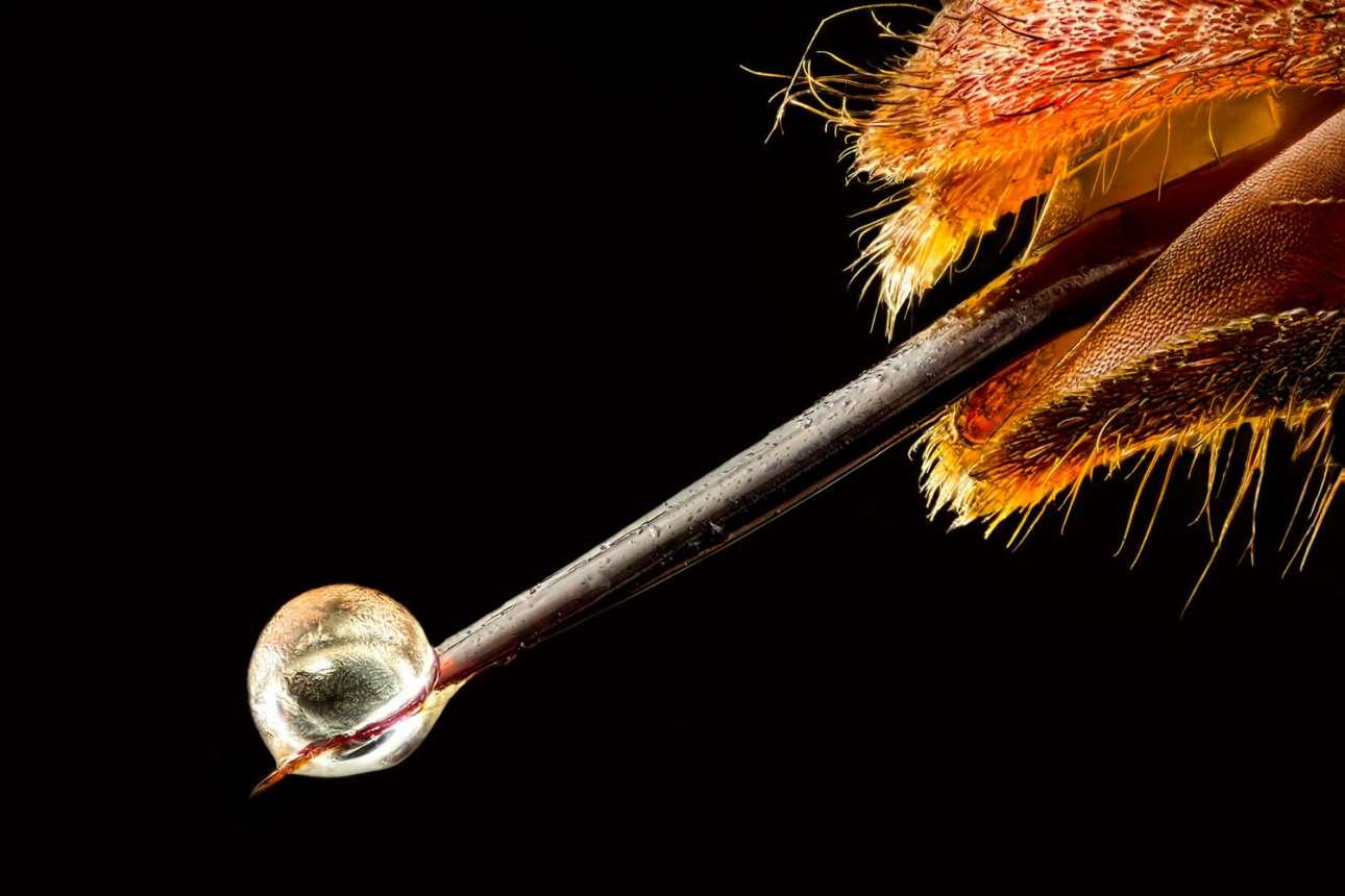 Ασιατική σφήκα με δηλητήριο στο κεντρί της στη 19η θέση